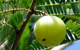 आंवला के औषधीय गुण